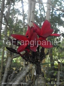 Red Knight Frangipani Flowers