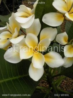 Bali-Whirl-Frangipani