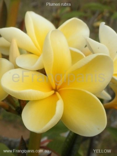 Yellow-Frangipani