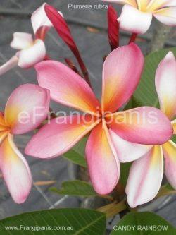 Candy-Rainbow-Frangipani
