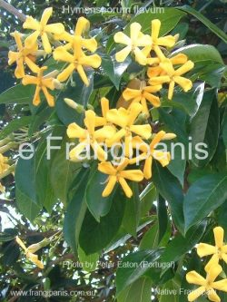 Hymensporum-flavum-native-frangipani
