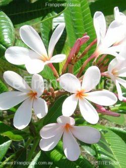 Petite-Pink-Frangipani-Flowers