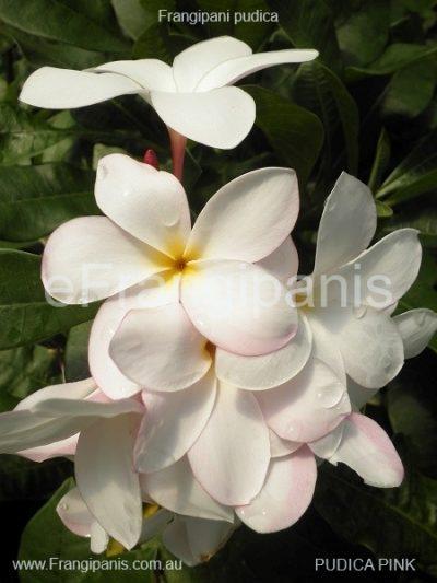 Pudica-Pink-Frangipani-Flowers aka Bridal Bouquet