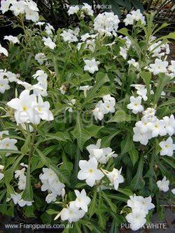 Pudica-White-Frangipani