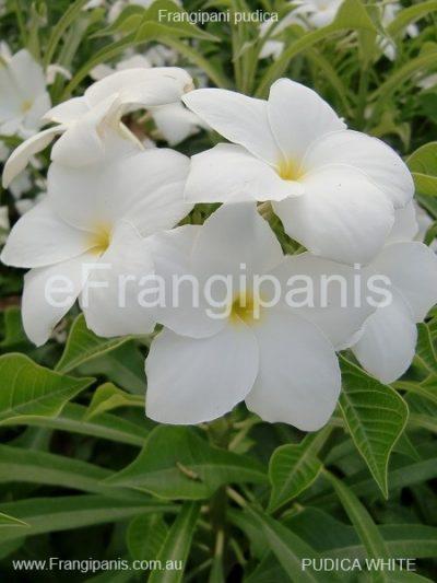 Pudica-White-Frangipani-3