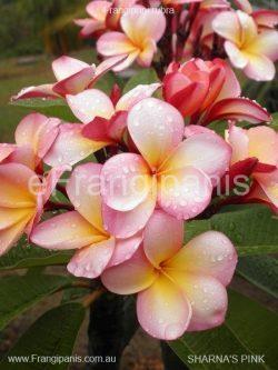 Sharnas-Pink-Frangipani