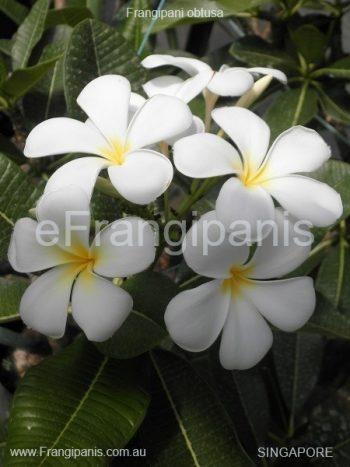 Singapore Frangipani Flowers