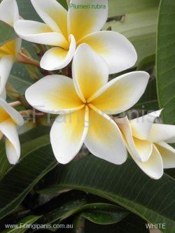 White-Frangipani