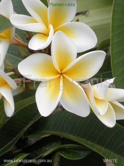 White-Frangipani-Flowers