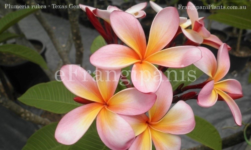 Texas-Gem-Frangipani-Flowers