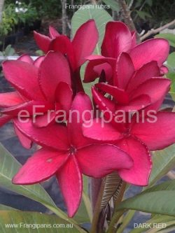 Redbull Frangipani Flowers